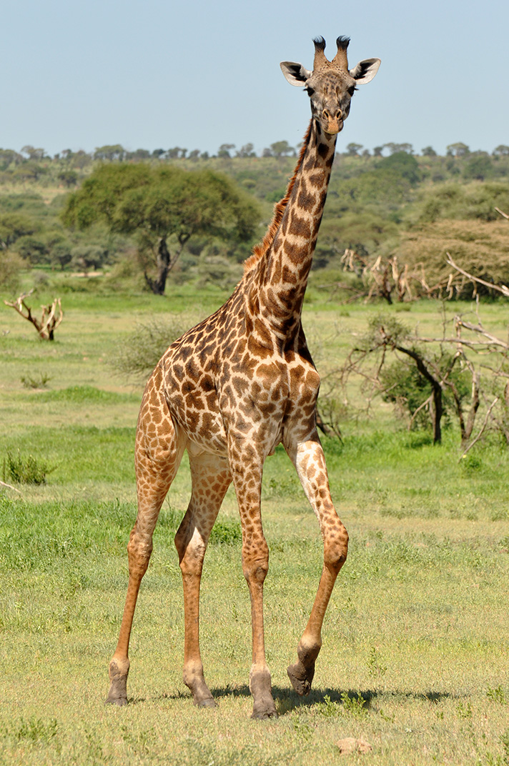 DSC_1299-female-giraffe.jpg