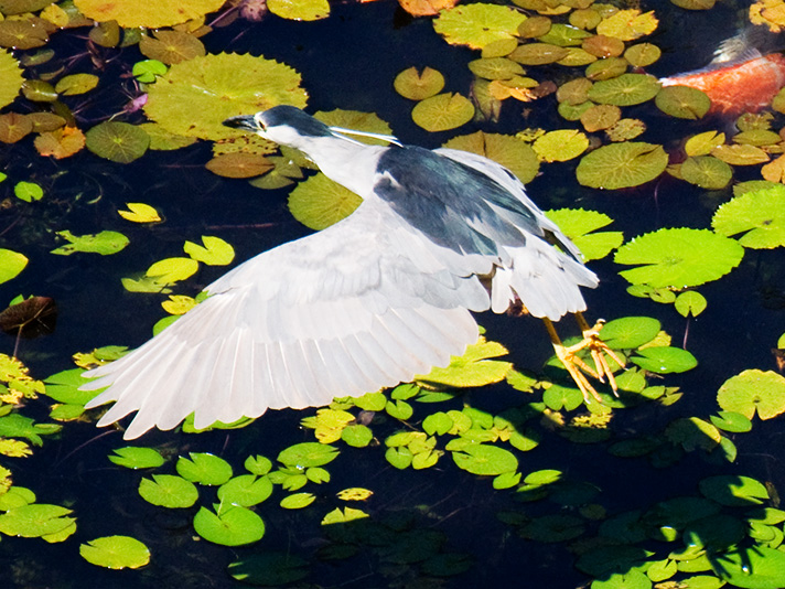 DSC_1368-black-crowned-night-heron.jpg