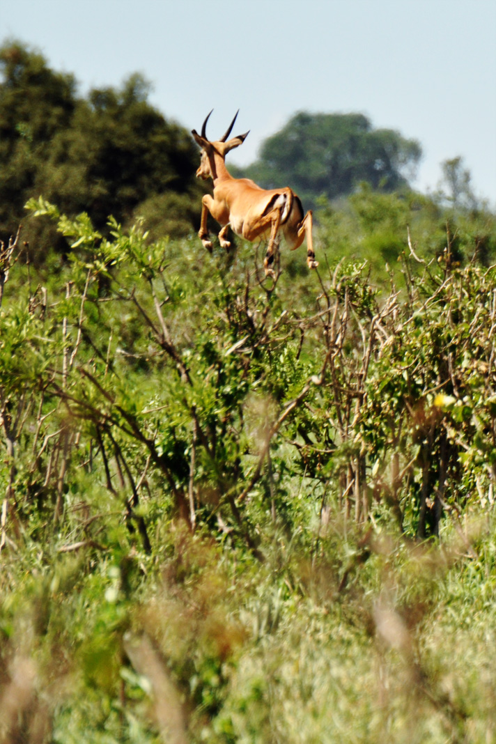 DSC_1392-impala-jumping-over-bush.jpg