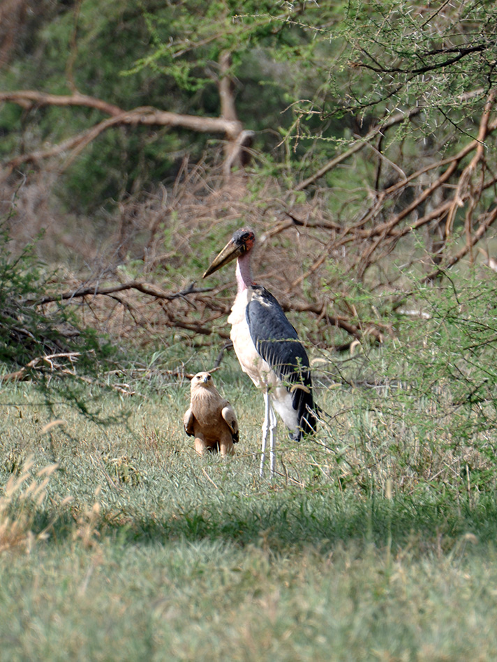 DSC_1781-tawny-eagle-and-marabou-stork.jpg
