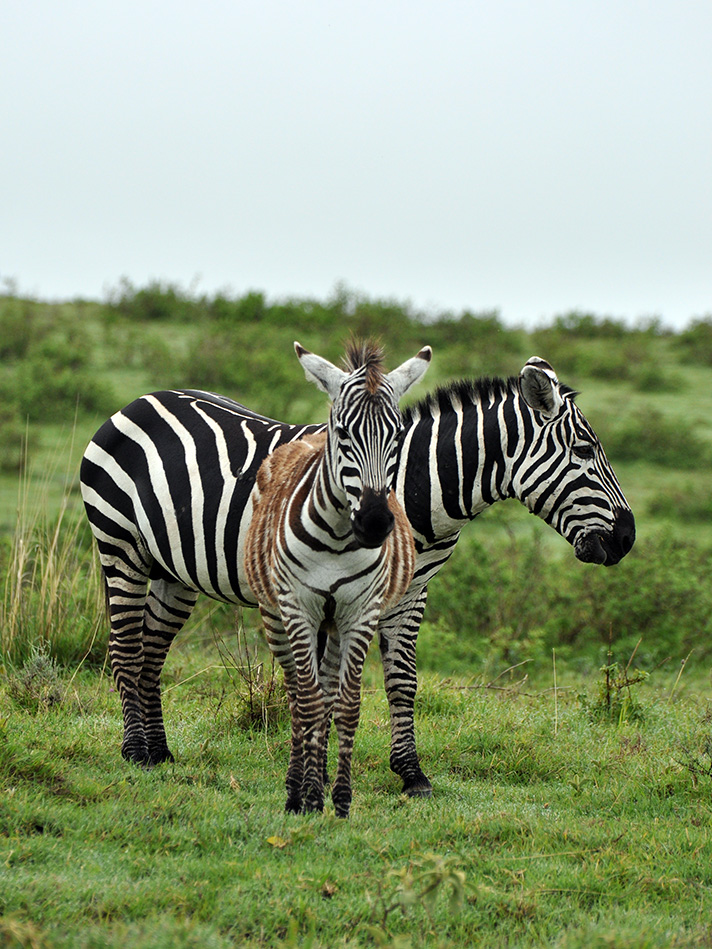 DSC_2704-zebra-and-young.jpg