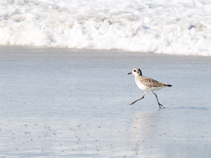 DSC_4217-black-bellied-plover.jpg