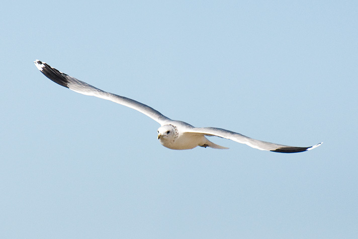 DSC_4259-california-gull.jpg