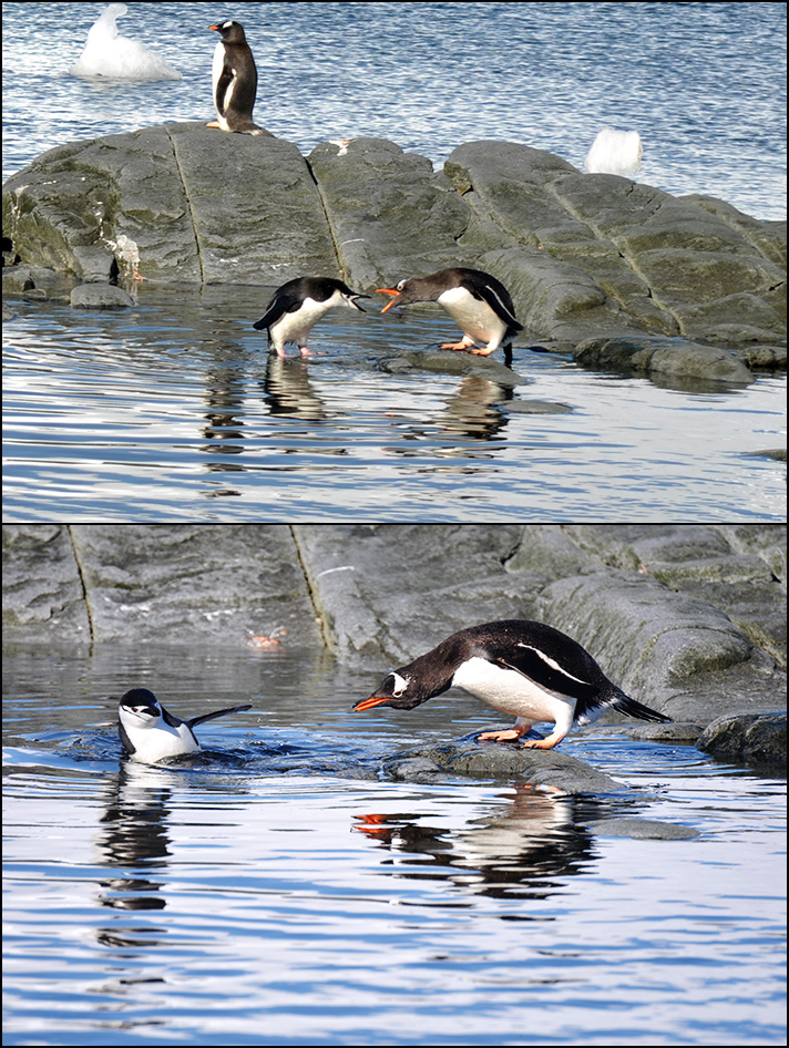 DSC_4990_chinstrap_and_gentoo_fighting.jpg