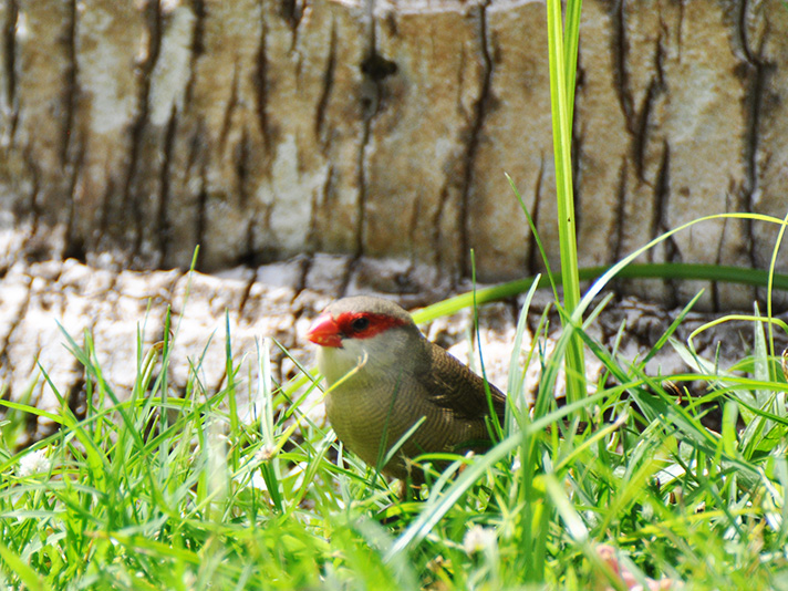 DSC_6398-common-waxbill.jpg