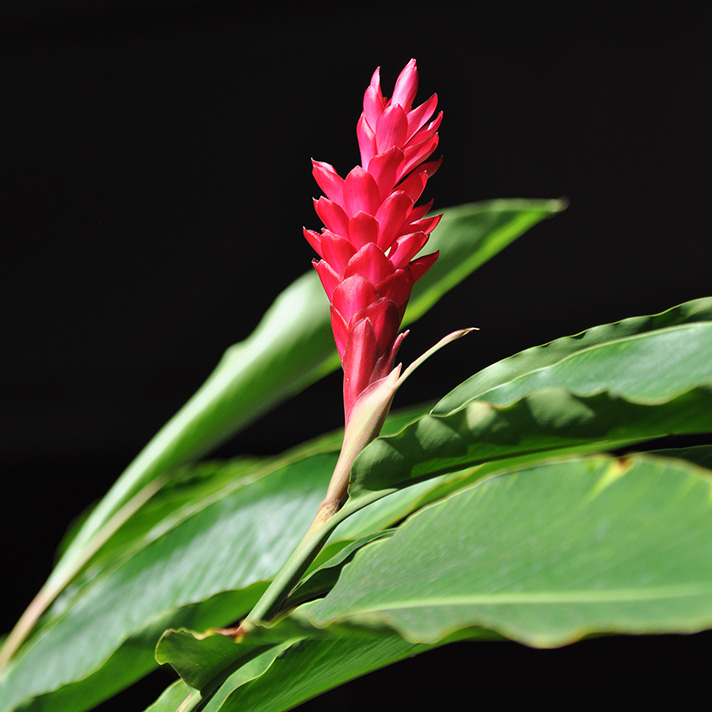 DSC_6540-red-ginger.jpg