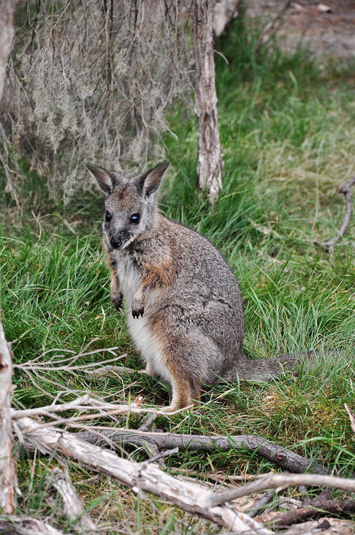 DSC_7822-wallaby.jpg