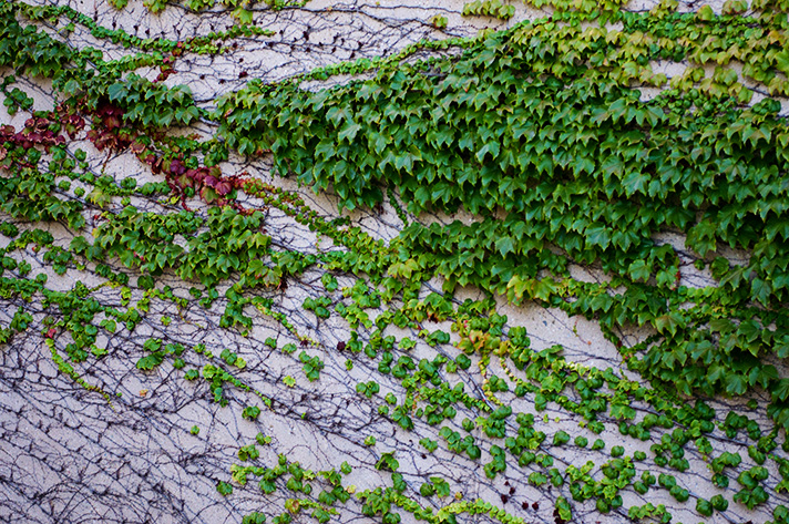 DSC_9751-waves-of-ivy.jpg