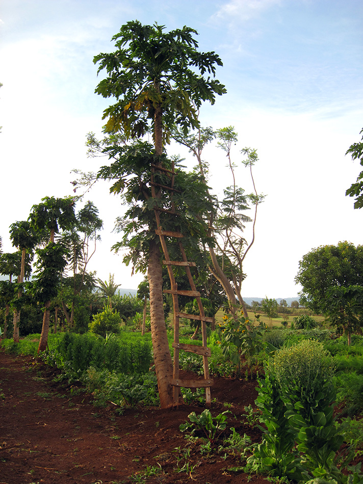 IMG_9634-papaya-tree.jpg